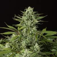 Cheese CBD Feminised Seeds