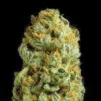 Critical Cheese Feminised Seeds