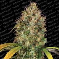 Dutch Kush Feminised Seeds