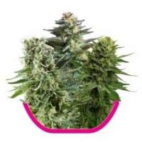 Mixed Feminised Seeds