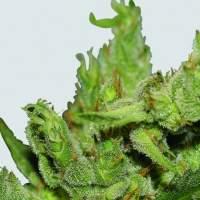 Haze #1 Regular Seeds