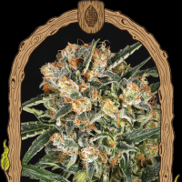 Hippie Therapy CBD Feminised Seeds