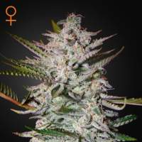 Holy Punch Feminised Seeds
