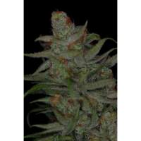 Jack Skellington Regular Seeds