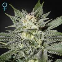 King's Kush CBD Feminised Seeds