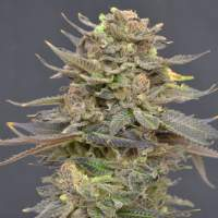 Magma Feminised Seeds