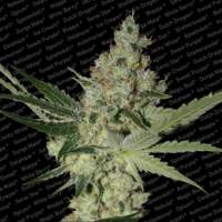 Acid Feminised Seeds