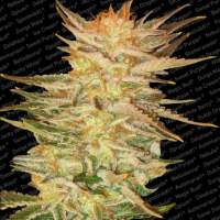 Ice Cream Feminised Seeds