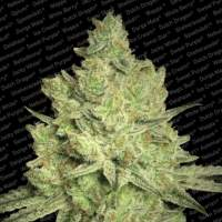 Jacky White Feminised Seeds