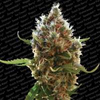 Lucid Bolt Feminised Seeds