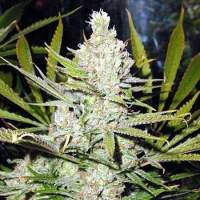 The Cure Regular Seeds
