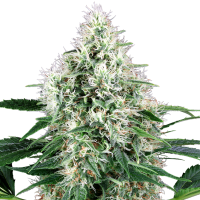 Pure  Power  Plant  Autoflowering  Jpg