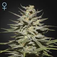 Super Lemon Haze CBD Feminised Seeds
