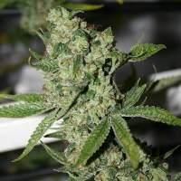 Super Silver Sour Diesel Haze Regular Seeds