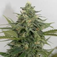 Sweet Ammo Feminised Seeds
