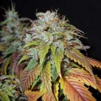 Swiss Cheese Feminised Seeds