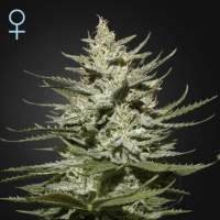 The Church CBD Feminised Seeds