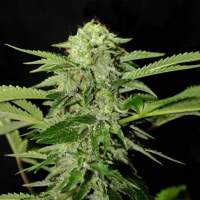 Txees Bilbo (Cheese) Feminised Seeds