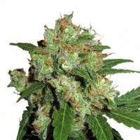 UK Cheesy Express AUTO Feminised Seeds