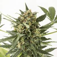 Kush - N - Cheese Auto Feminised Seeds