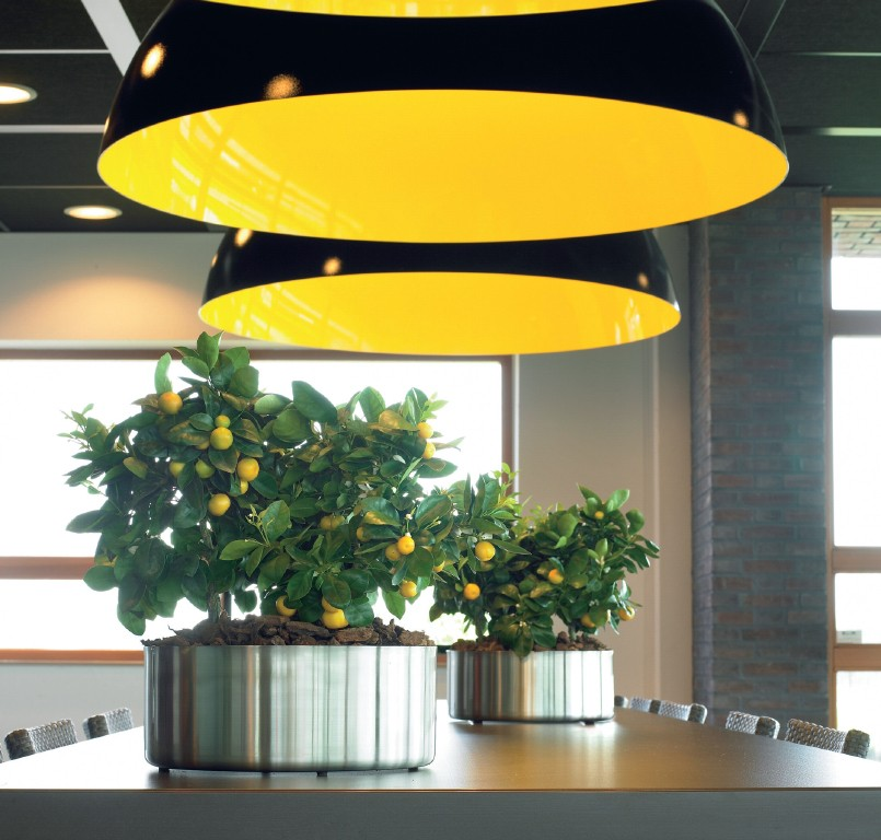 Citrus_madurensis_in_a_Parel_Stainless_Steel_planter