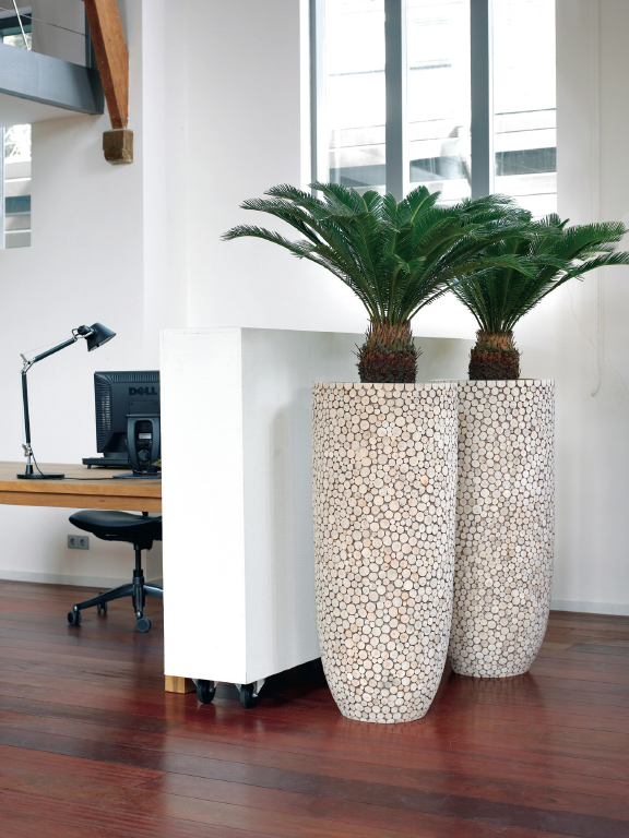 Cycas_revoluta_in_Natural_Trendy_Wood_planters
