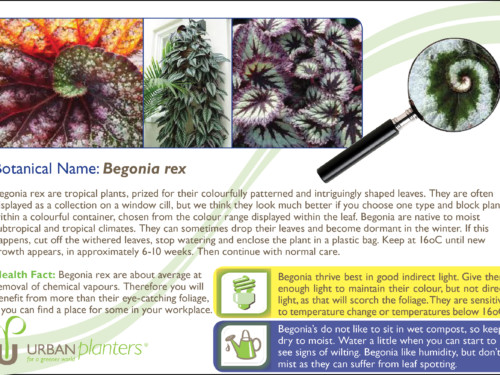 Plant_in_Focus_-_Begonia_rex