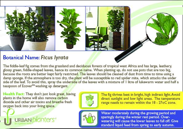 plant-in-focus-ficus-lyrata