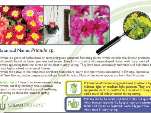 Plant_in_Focus_-_Primula_sp