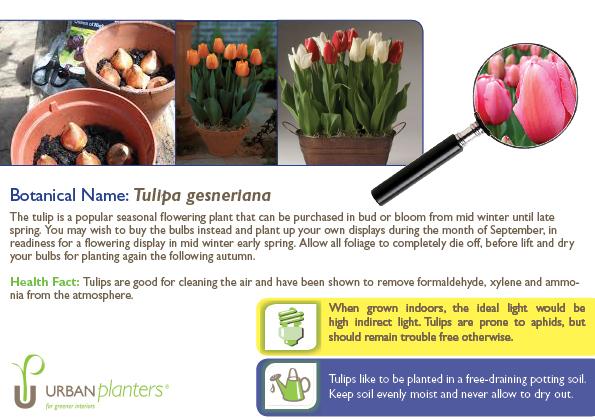 Plant_in_Focus_-_Tulipa_gesneriana