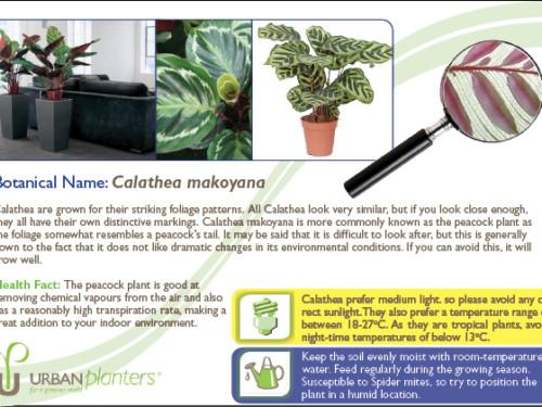 Plant_in_Focus_-_Calathea makoyana
