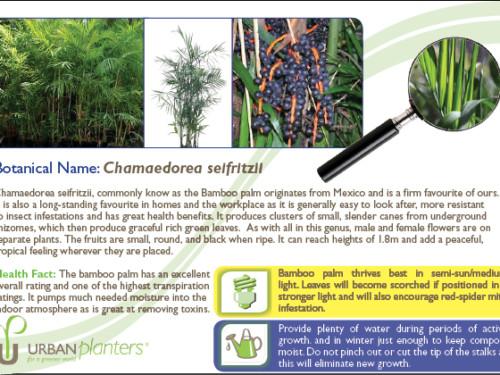 Plant_in_Focus_-_Chamaedorea_seifritzii