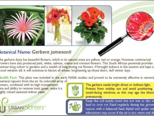 Plant_in_Focus_-_Gerbera_jamesonii