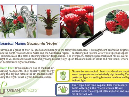 Plant_in_Focus_-_Guzmania_'Hope'