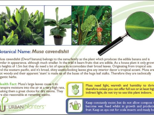 Plant_in_Focus_-_Musa_cavendishii