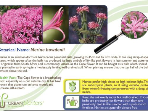 Plant_in_Focus_-_Nerine_bowdenii