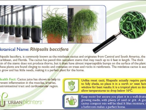 Plant_in_Focus_-_Rhipsalis_baccifera