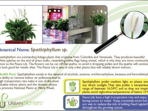 Plant_in_Focus_-_Spathiphyllum sp