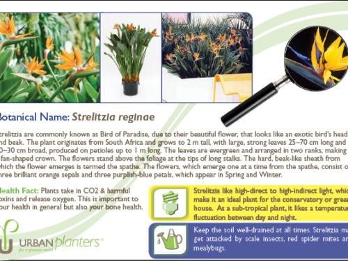 Plant_in_Focus_-_Strelitzia reginae
