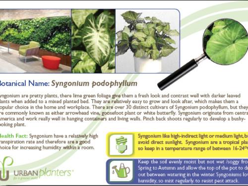 Plant_in_Focus_-_Syngonium_podophyllum