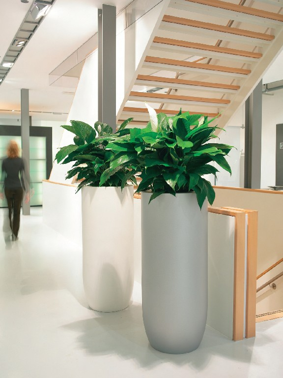 Spathiphyllum_sp._in_a_Top_planter