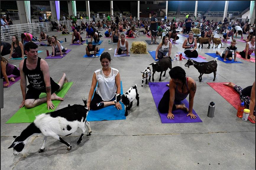 Goat Yoga Class Denver