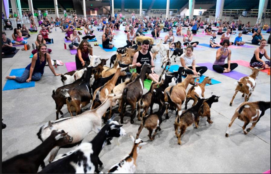 Goat yoga practice