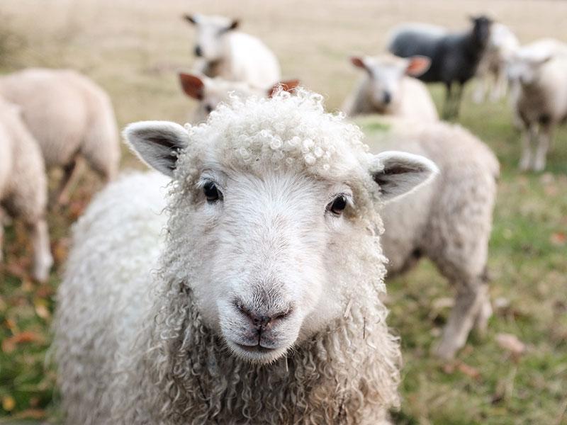 Why use organic wool?