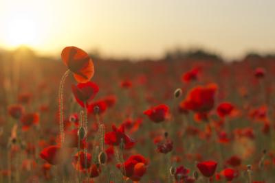 Wc Poppiesat Sunset
